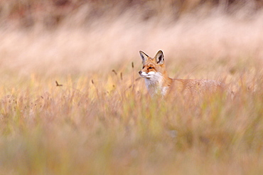 Red Fox (Vulpes vulpes) on a meadow in autumn, Kuyavian-Pomeranian Voivodeship, Poland, Europe