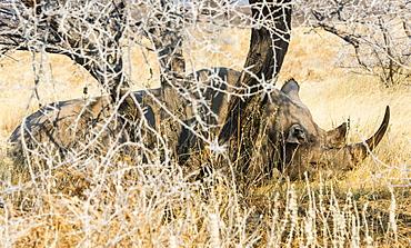Black Rhinoceros (Diceros bicornis) sleeping camouflaged in the bushes, Etosha National Park, Namibia, Africa