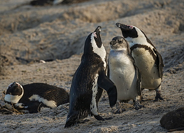African Penguins (Spheniscus demersus), couple with molting chick, Boulders Beach, Simon's Town, Western Cape, South Africa, Africa