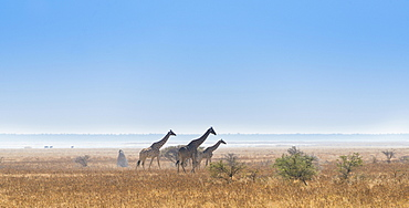 Three giraffes (Giraffa camelopardis) walking through the dry grass, Etosha National Park, Namibia, Africa