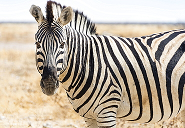 Burchell's Zebra (Equus burchellii) in the dry steppe, Etosha National Park, Namibia, Africa