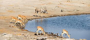 Herd of Black-faced Impalas (Aepyceros melampus petersi) and greater kudu (Tragelaphus strepsiceros) drinking, Chudop water hole, Etosha National Park, Namibia, Africa