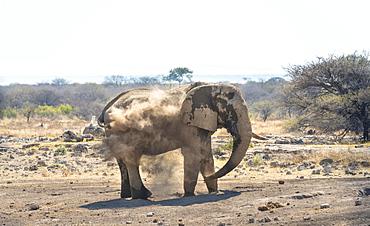 African Bush Elephant (Loxodonta africana) taking a dust bath, Koinachas waterhole, Etosha National Park, Namibia, Africa