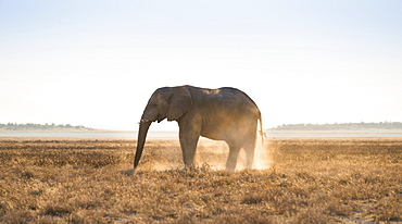Elephant in the evening light on dry grassland, African Elephant (Loxodonta africana), Etosha National Park, Namibia, Africa