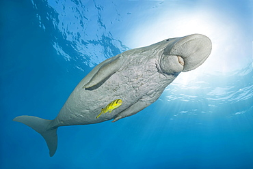 Dugong (Dugong dugon) with Golden Trevally (Gnathanodon speciosus) under water surface, Red Sea, Hermes Bay, Marsa Alam, Egypt, Africa