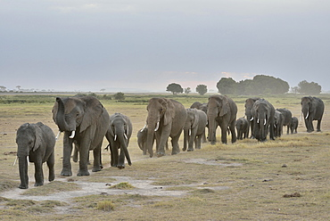 Herd of African Bush Elephants (Loxodonta africana), Amboseli National Park, Rift Valley Province, Kenya, Africa