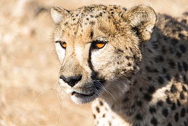 Cheetah (Acinonyx jubatus), Khomas, Namibia, Africa