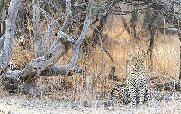 Leopard (Panthera pardus) sitting under a dry tree on stony ground, Etosha National Park, Namibia, Africa