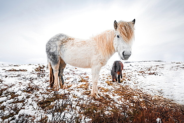 White Icelandic horse (Equus przewalskii f. caballus) in barren landscape with snow, West Iceland, Iceland, Europe