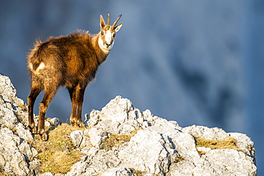 Chamois (Rupicapra rupicapra), stands in the rocky mountains, Berchtesgaden Alps, Austria, Europe
