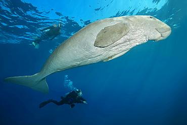 Sea Cow (Dugong dugon) with scubadivers swim under surface of blue water, Red Sea, Hermes Bay, Marsa Alam, Egypt, Africa