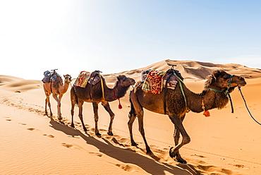Three Dromedaries (Camelus dromedarius), caravan, run in sand dunes in the desert, Erg Chebbi, Merzouga, Sahara, Morocco, Africa