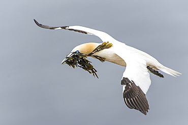 Northern gannet (Morus bassanus), in flight with nesting material, Heligoland, Schleswig-Holstein, Germany, Europe