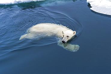 Polar Bear (Ursus maritimus) swimming through pack ice, Svalbard Archipelago, Norway, Europe