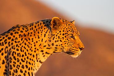 Leopard (Panthera pardus), looking out, Okahandja, Namibia, Africa