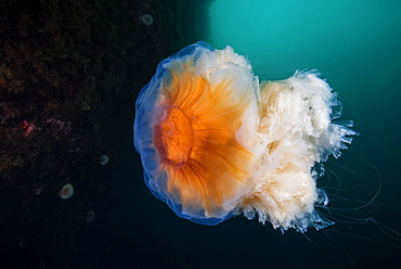 Lion's mane jellyfish (Cyanea capillata), Norwegian Sea, Northern Atlantic, Norway, Europe