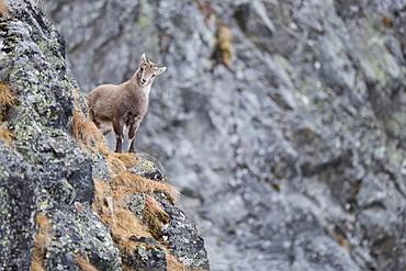 Alpine Ibex (Capra Ibex), young animal, Stubai Valley, Tyrol, Austria, Europe