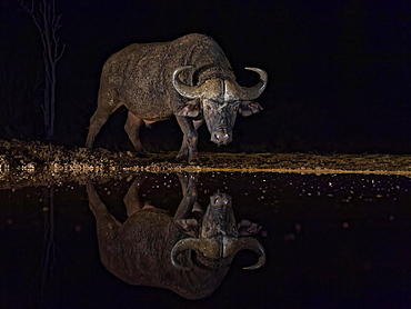Cape buffalo (Syncerus caffer) at waterhole at night, water reflection, KwaZulu-Natal, South Africa, Africa