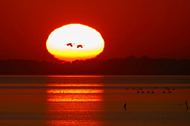 Common cranes (Grus grus), flying into the glowing sun at sunrise, Western Pomerania Lagoon Area National Park, Mecklenburg-Western Pomerania, Germany, Europe