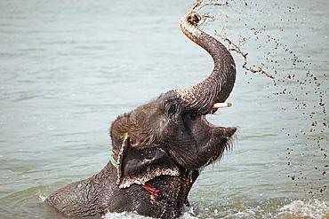 Elephant (Elephantidae) bathing in Rapti River, Sauraha, Chitwan National Park, Terai Lowland, Nepal, Asia