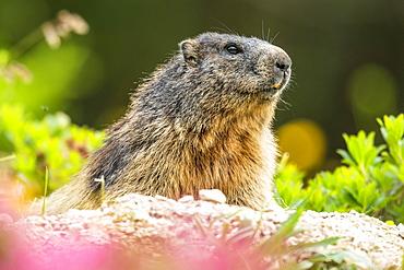 Marmot (Marmota) sits at its den, Berchtesgaden Alps, Bavaria, Germany, Europe