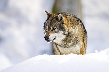 Gray wolf (Canis lupus) in snow, winter, Bavarian Forest National Park, Bavaria, Germany, Europe