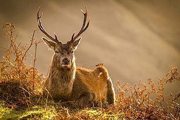 Red deer (Cervus elaphus) in soft morning light, Glen Coe, Fort William, Highlands, Scotland, United Kingdom, Europe