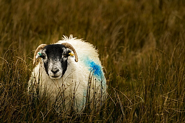 Scottish Blackface Domestic sheep (Ovis gmelini aries) in a meadow, Isle of Sky, Scotland, United Kingdom, Europe