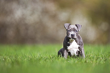 Staffordshire Terrier Puppy sitting in meadow, Austria, Europe