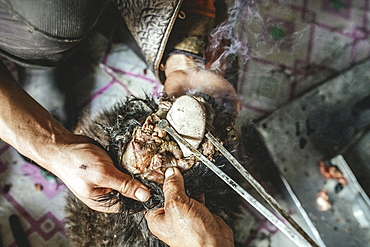 Hot stones are filled into the body with tongs, traditional cooking of a goat with hot stones in its belly, Mongolian cooking method Boodog, Toew-Aimag, Mongolia, Asia