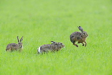 Three European hares (Lepus europaeus) in a meadow, one jumps into the air, Lower Rhine, North Rhine-Westphalia, Germany, Europe