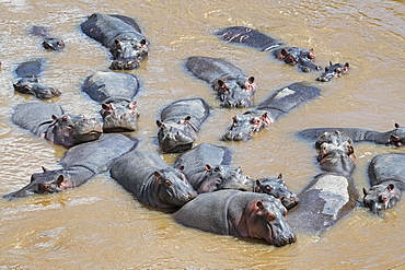 Hippos (Hippopotamus amphibius), Herd in Mara River, Masai Mara, Kenya, Africa