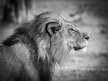 Lion (Panthera leo), male, monochrome, Moremi Game Reserve, Botswana, Africa