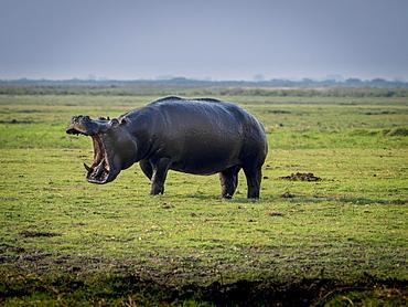 Hippo (Hippopotamus amphibius) with open mouth, Chobe National Park, Botswana, Africa