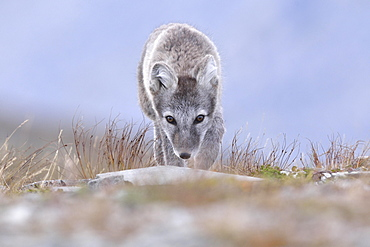 Arctic fox (Vulpes lagopus), young stalking animal, Dovrefjell, Norway, Europe