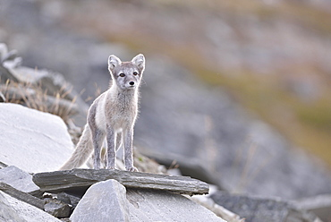 Arctic fox (Vulpes lagopus), kitten standing on a rock, Dovrefjell, Norway, Europe