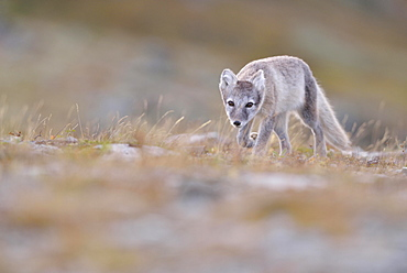 Arctic fox (Vulpes lagopus), young animal in Fjell, Dovrefjell, Norway, Europe