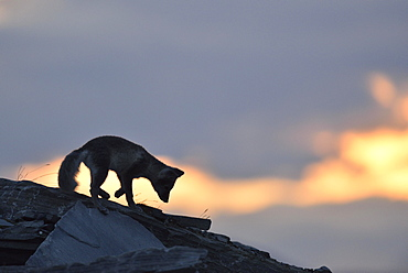 Arctic fox (Vulpes lagopus), young animal on a rock, silhouette at sunset, Dovrefjell, Norway, Europe