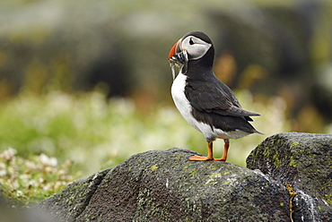 Puffin (Fratercula arctica) with captured fish in the beak, Isle of May, Scotland, Great Britain