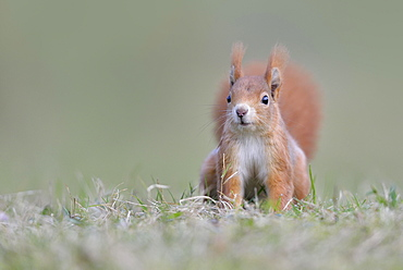 Eurasian Eurasian red squirrel (Sciurus vulgaris) in a meadow, Saxony, Germany, Europe