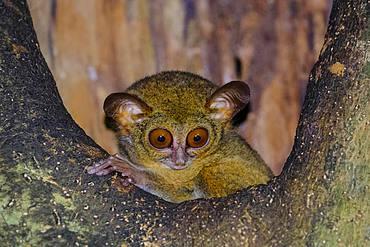 Spectral Tarsier (Tarsius spectrum, Tarsius tarsier), Tangkoko National Park, Sulawesi, Indonesia, Asia