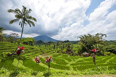 Rice terraces of Jatiluwih, volcano Gunung Batukaru in the background, Bali, Indonesia, Asia