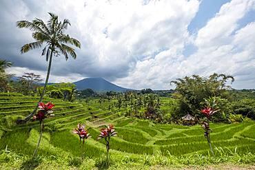 Rice terraces of Jatiluwih, volcano Gunung Batukaru in the background, Bali, Indonesia, Asia