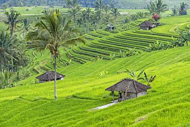 Rice terraces of Jatiluwih, Bali, Indonesia, Asia