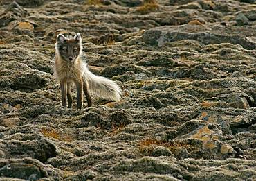 Arctic fox (Vulpes lagopus), Svalbard, Norwegian Arctic, Norway, Europe