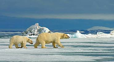 Polar bears (Ursus maritimus), female with young running on ice floe, Svalbard, Norwegian Arctic, Norway, Europe