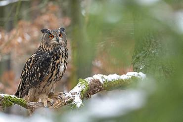 Eurasian eagle-owl (Bubo bubo), sitting on a branch with snow, captive, Czech Republic, Europe