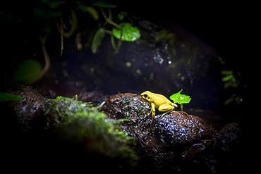 Golden poison frog (Phyllobates terribilis), captive, Canada, North America