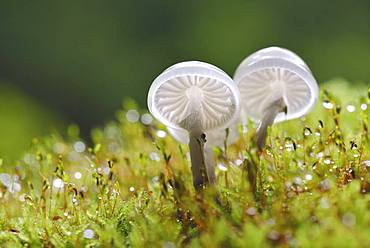 Porcelain fungi (Oudemansiella mucida) on a mossy trunk, Harz, Saxony-Anhalt, Germany, Europe