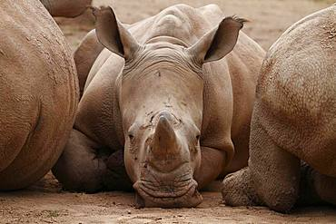 White rhinoceros (Ceratotherium simum) lies between conspecifics, captive, Germany, Europe